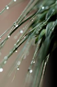 Rain Drops on Wheat