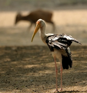 Painted Stork and the movin Deer