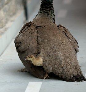 Guardian peahen