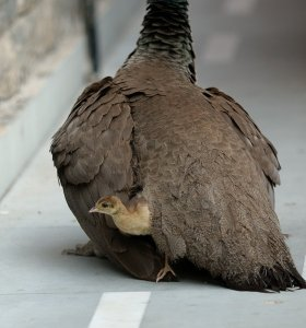 Guardian peahen