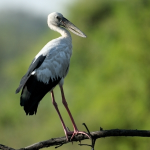 Open Billed Stork