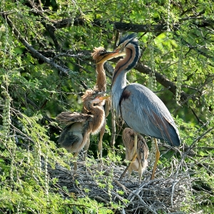 Purple Heron with chicks